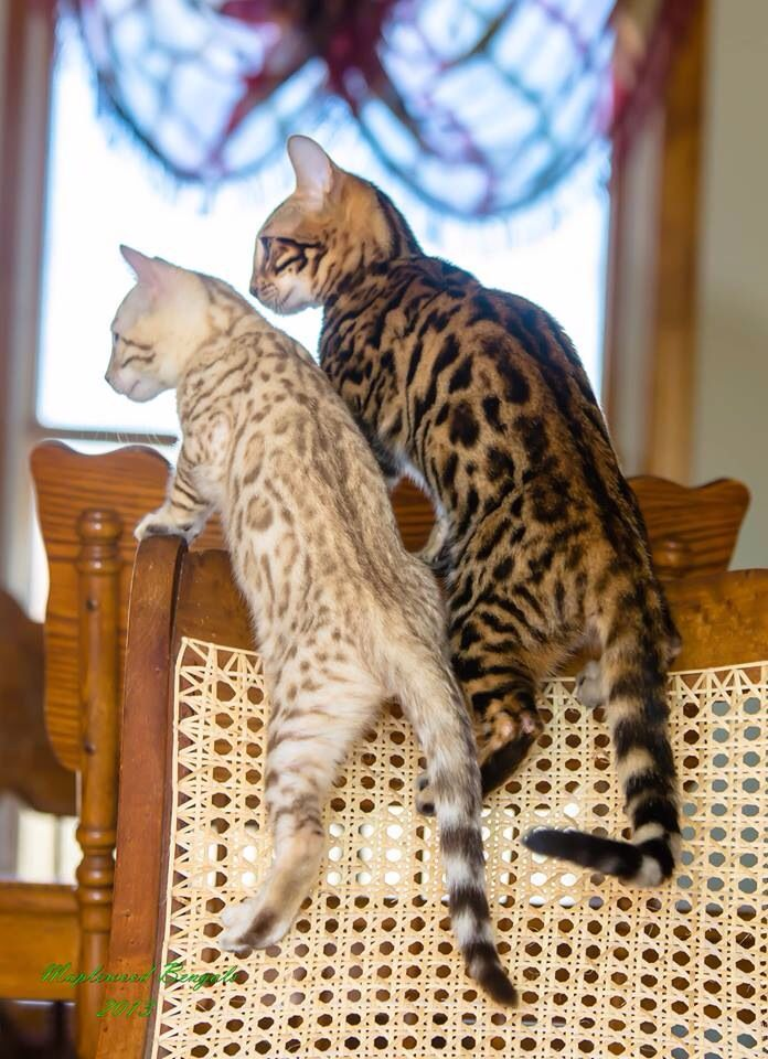 Cute Bengal Cat Pictures