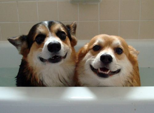 corgis-taking-bath