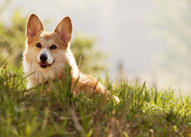 happy-corgi-dog
