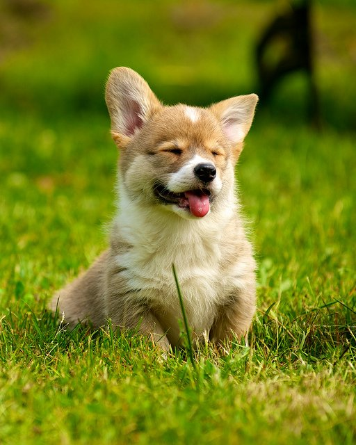 happy-corgi-puppy