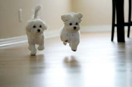 Maltese Puppies | Animals Zone