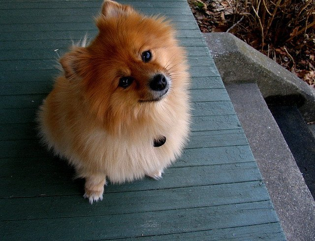 Cute Pomeranian | Animals Zone