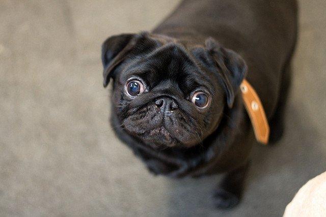 Black Pug | Animals Zone