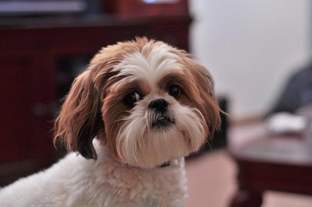 Shih Tzu Puppy| Animals Zone