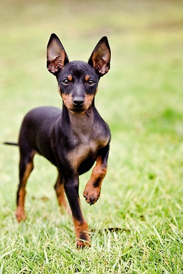 toy-manchester-terrier-dog