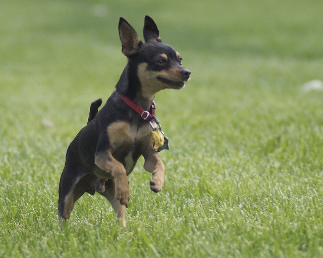 toy-manchester-terrier