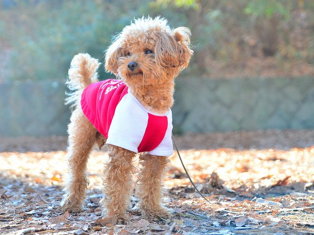 Toy Poodle Puppy| Animals Zone