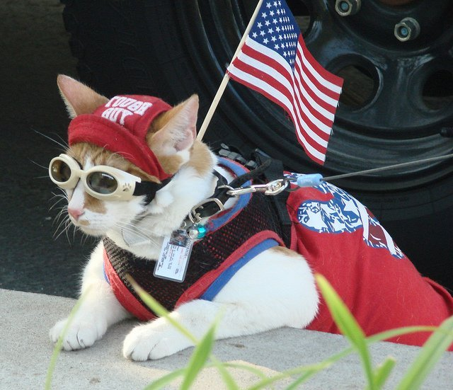 Cool Patriotic Cat #4thofjuly | Animals Zone