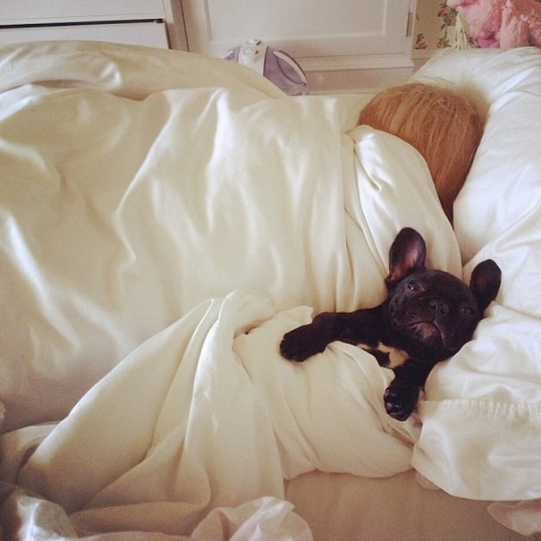 Lady Gaga and her French Bulldog, Asia | Animals Zone