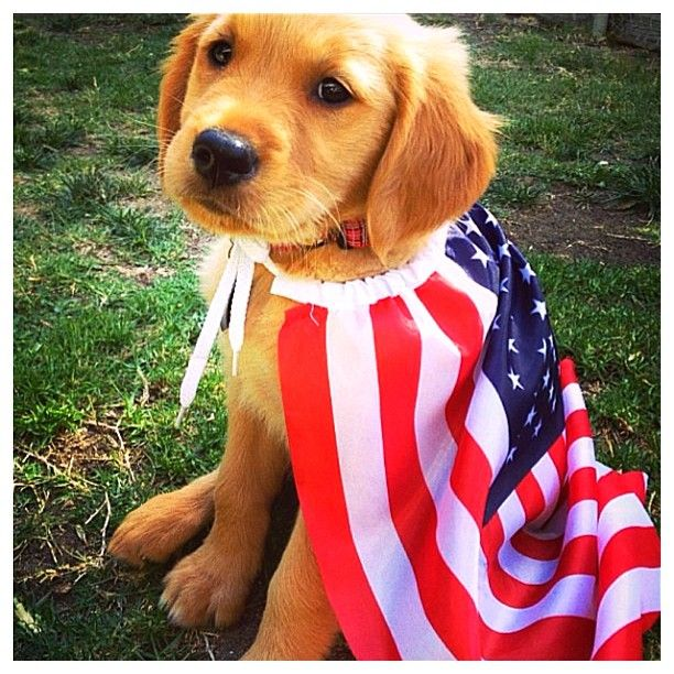 Patriotic Golden Retriever Puppy | Animals Zone