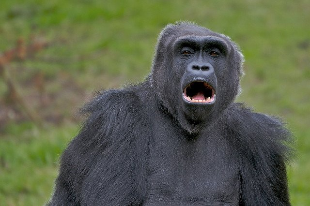 Gorilla Yawning | Animals Zone