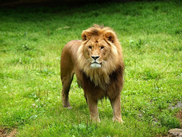 King of the jungle | Animals Zone