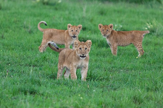 Baby lions | Animals Zone
