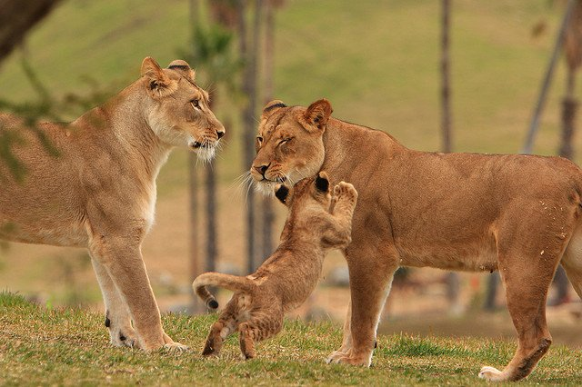 Lion females and their cubs | Animals Zone
