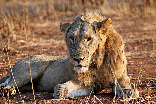 10 Interesting Facts about Lions | Animals Zone