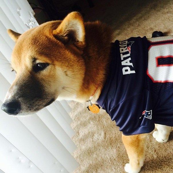Patriots fan | Animals Zone