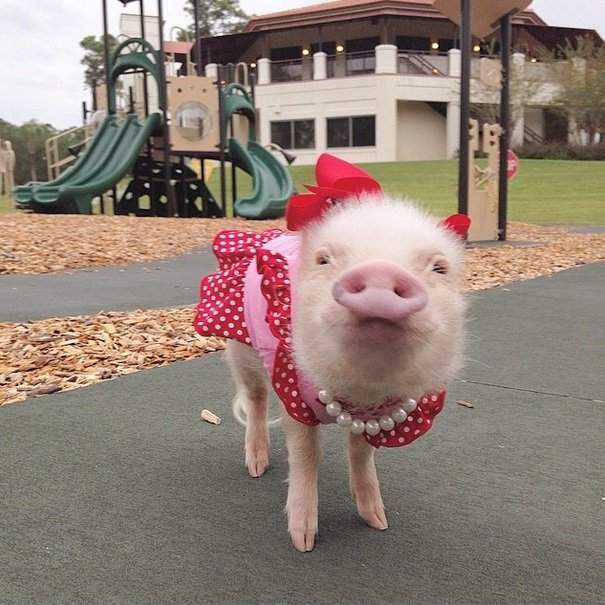 Priscilla, the mini pig | Animals Zone