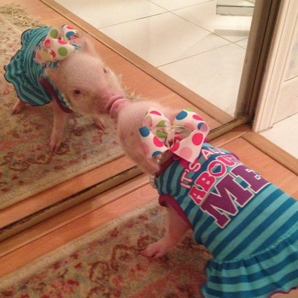 This stylish piggy is always on point! | Animals Zone