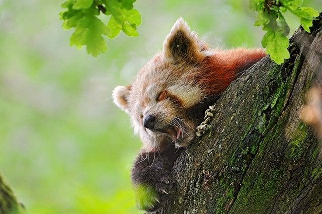 Red Panda Yawning | Animals Zone