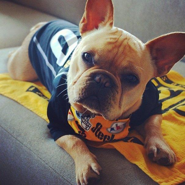 Steelers fan | Animals Zone