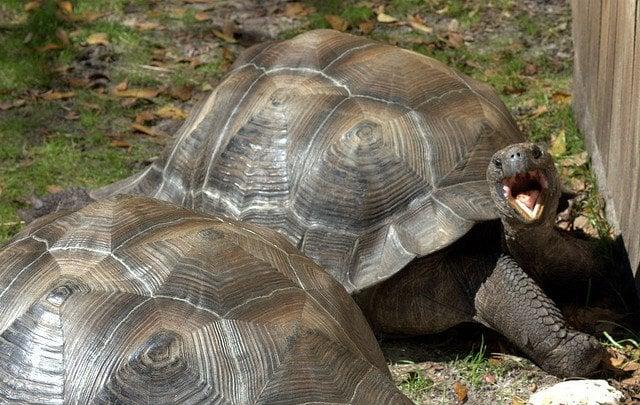 Tortoise Yawning | Animals Zone