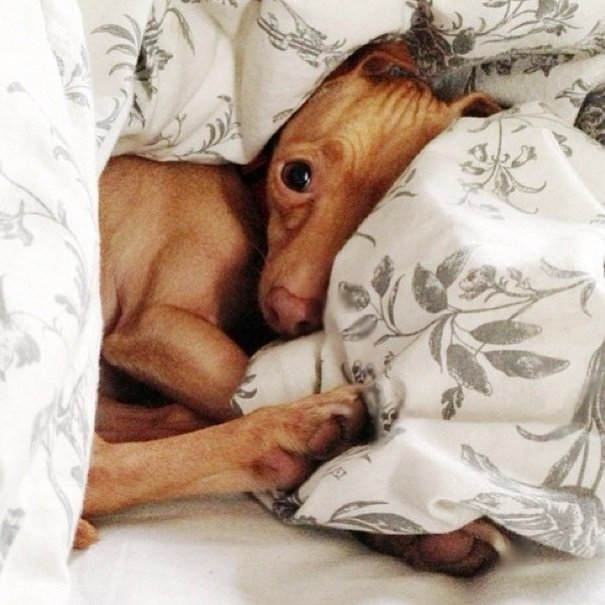 Adorable Tuna, the Chiweenie | Animals Zone