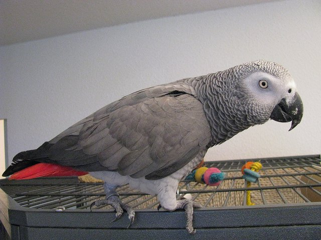Arwen is a Congo African grey parrot, Psittacus erithacus | Animals Zone