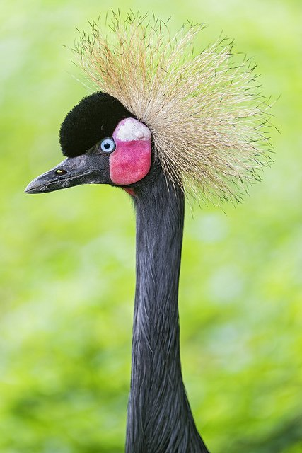African Crowned Crane | Animals Zone