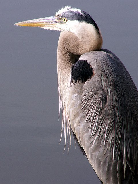 The Blue Heron | Animals Zone