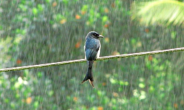 Drongo Bird | Animals Zone