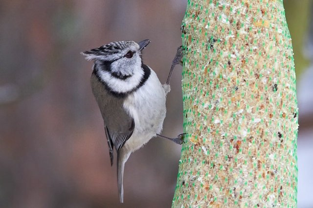 The European Crested Tit (Lophophanes cristatus) | Animals Zone