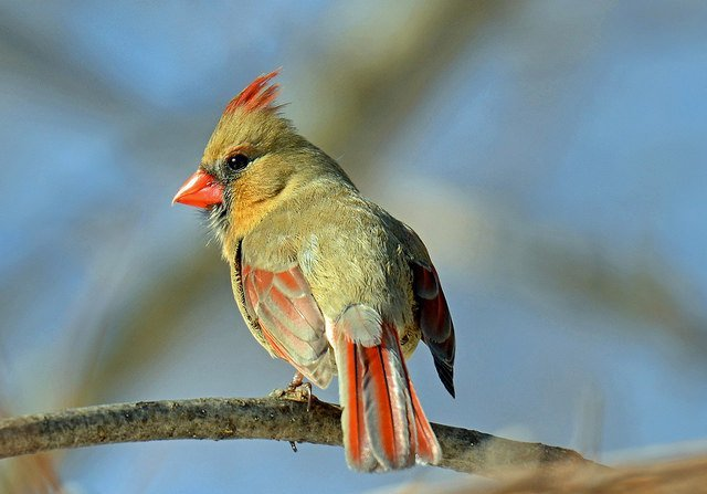 Cardinal Breeding Plumage | Animals Zone