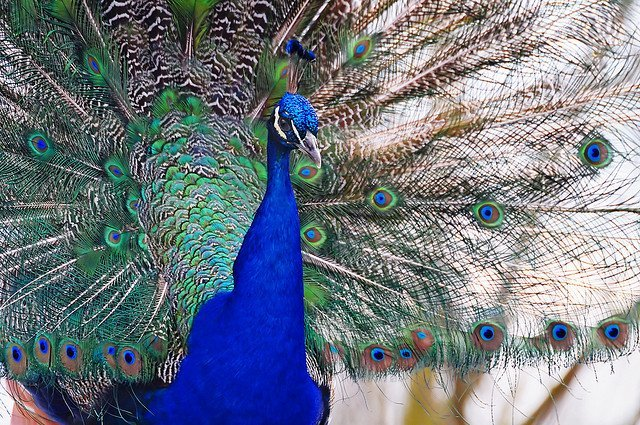 Male Peacock | Animals Zone