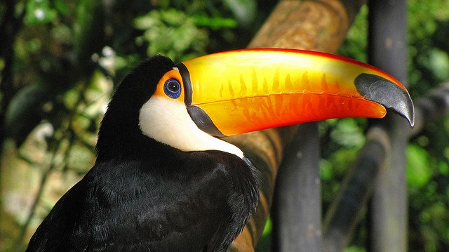 Toco Toucan (Ramphastos toco) | Animals Zone