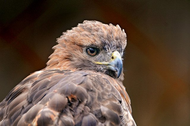 Golden Eagle | Animals Zone