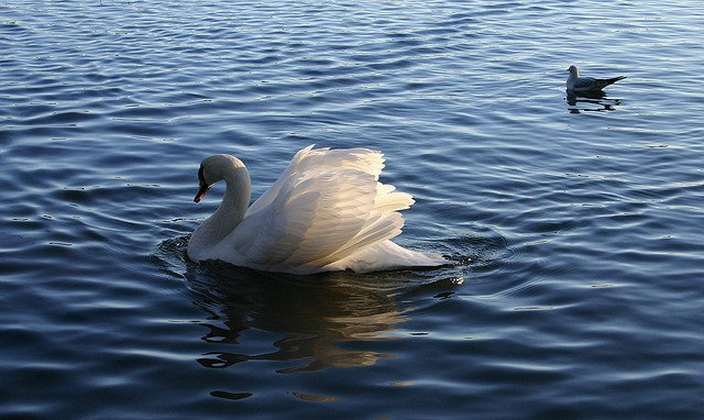 Beautiful sun in swanwings | Animals Zone