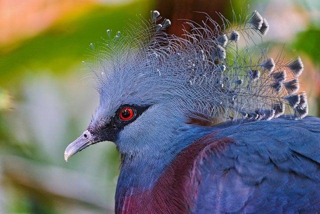 Victoria Crowned Pigeon | Animals Zone