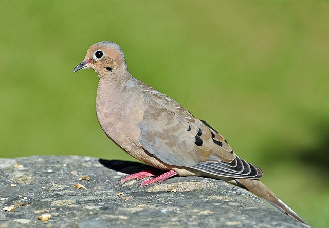 Mourning Dove | Animals Zone
