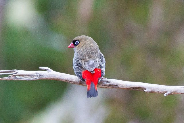 Beautiful Firetail (Stagonopleura bella) | Animals Zone