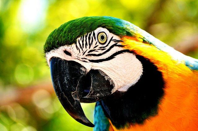 The Blue-and-yellow Macaw (Ara ararauna) | Animals Zone