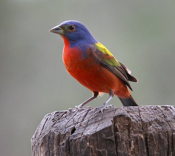 Painted Bunting (Passerina ciris) | Animals Zone