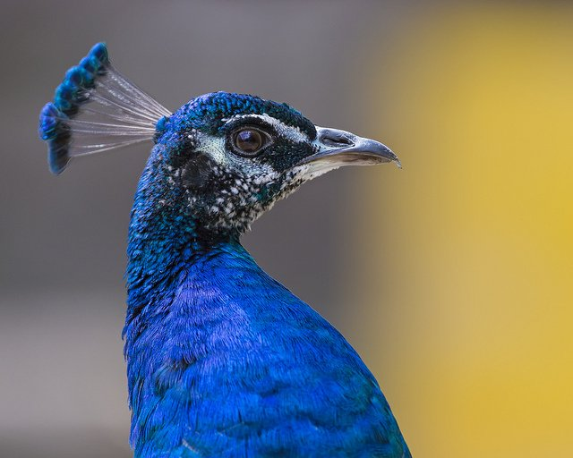 Profile Portrait of a Peacock | Animals Zone