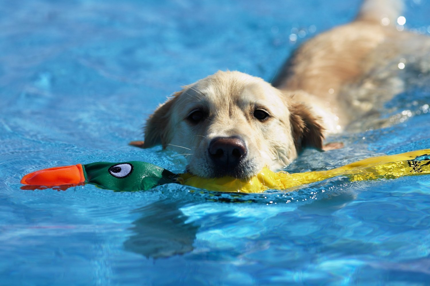 pool-floating-dog-toy