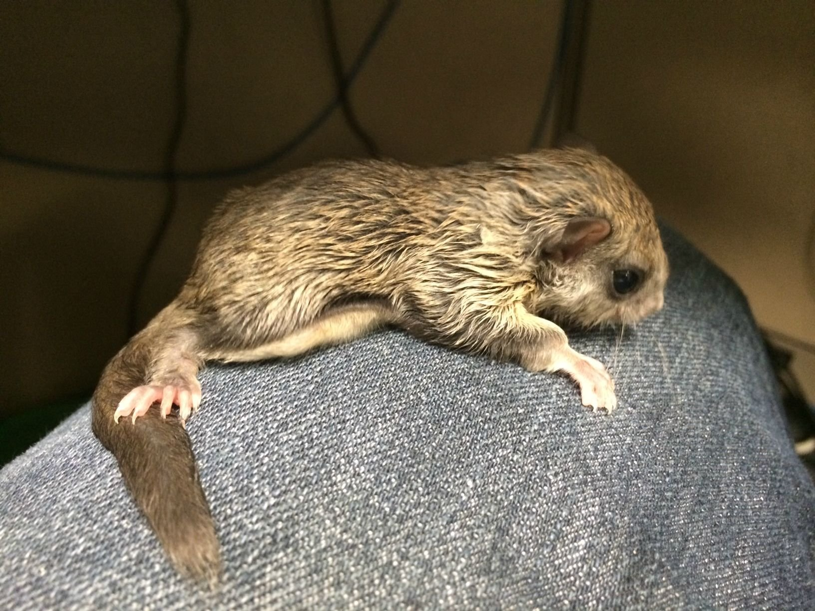 A baby flying squirrel named Biscuits was rescued from a sidewalk in the scorching sun | Animals Zone