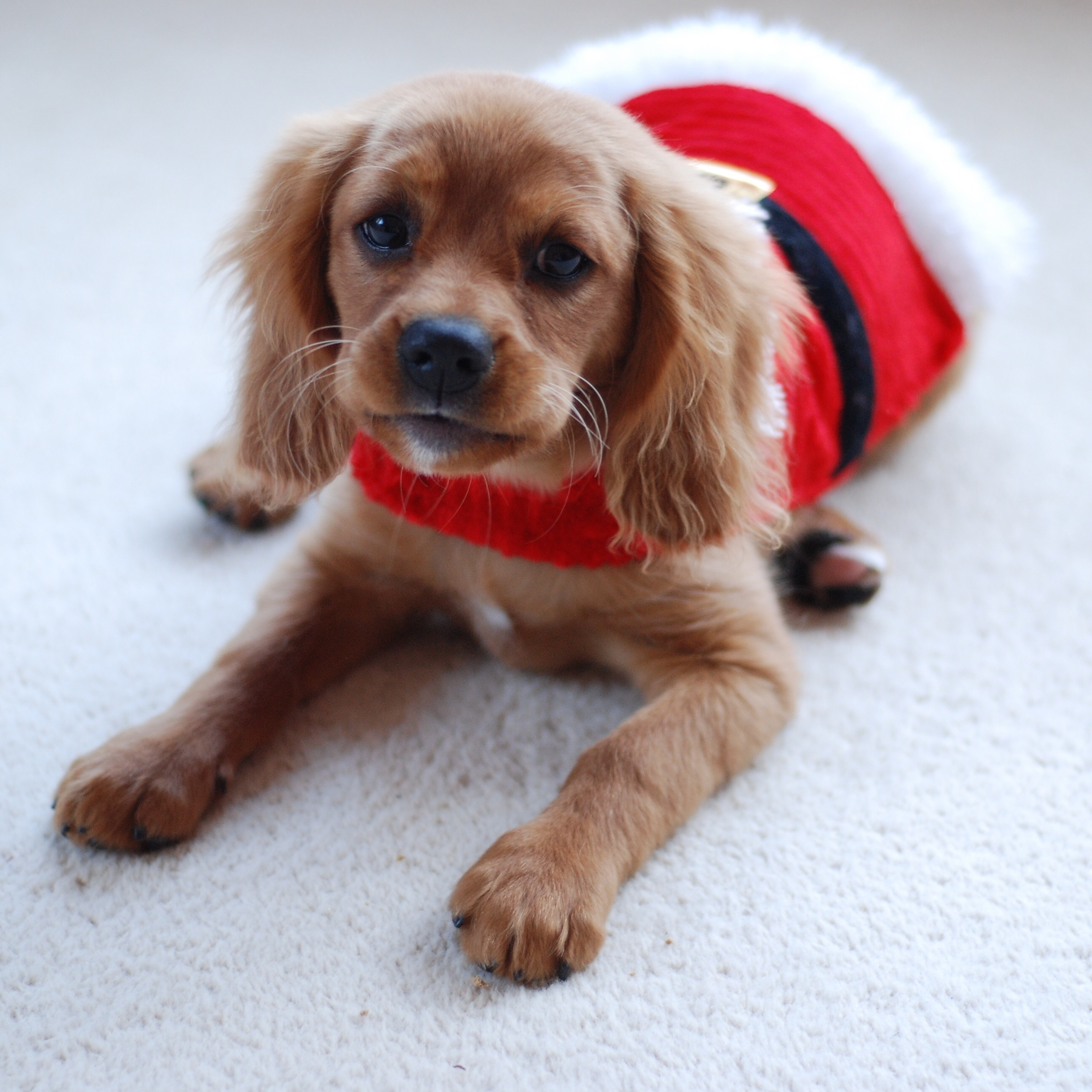 Adorable puppy is hoping Santa Paws will stop by ? | Animals Zone