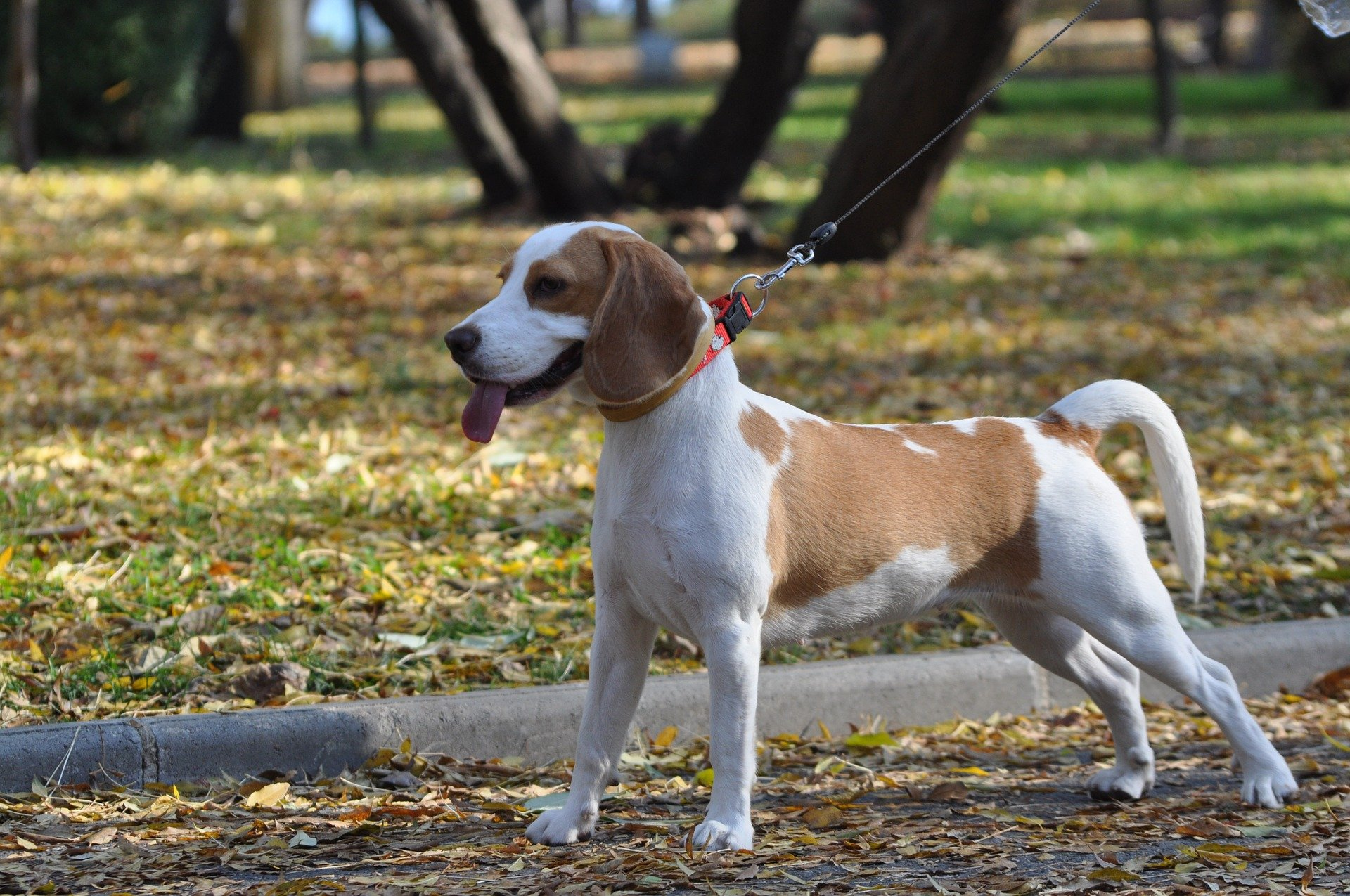 #Beagles come in a variety of colors ranging from black, white, tan, red, lemon and blue mottle. The tricolored variety is the most common | Animals Zone