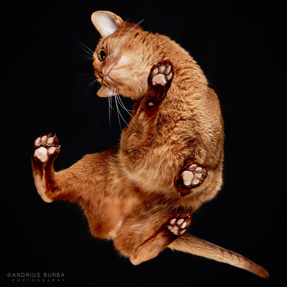 ABYSSINIAN. A Photographer Captures Cats from Underneath. Click to read the full story. | Animals Zone