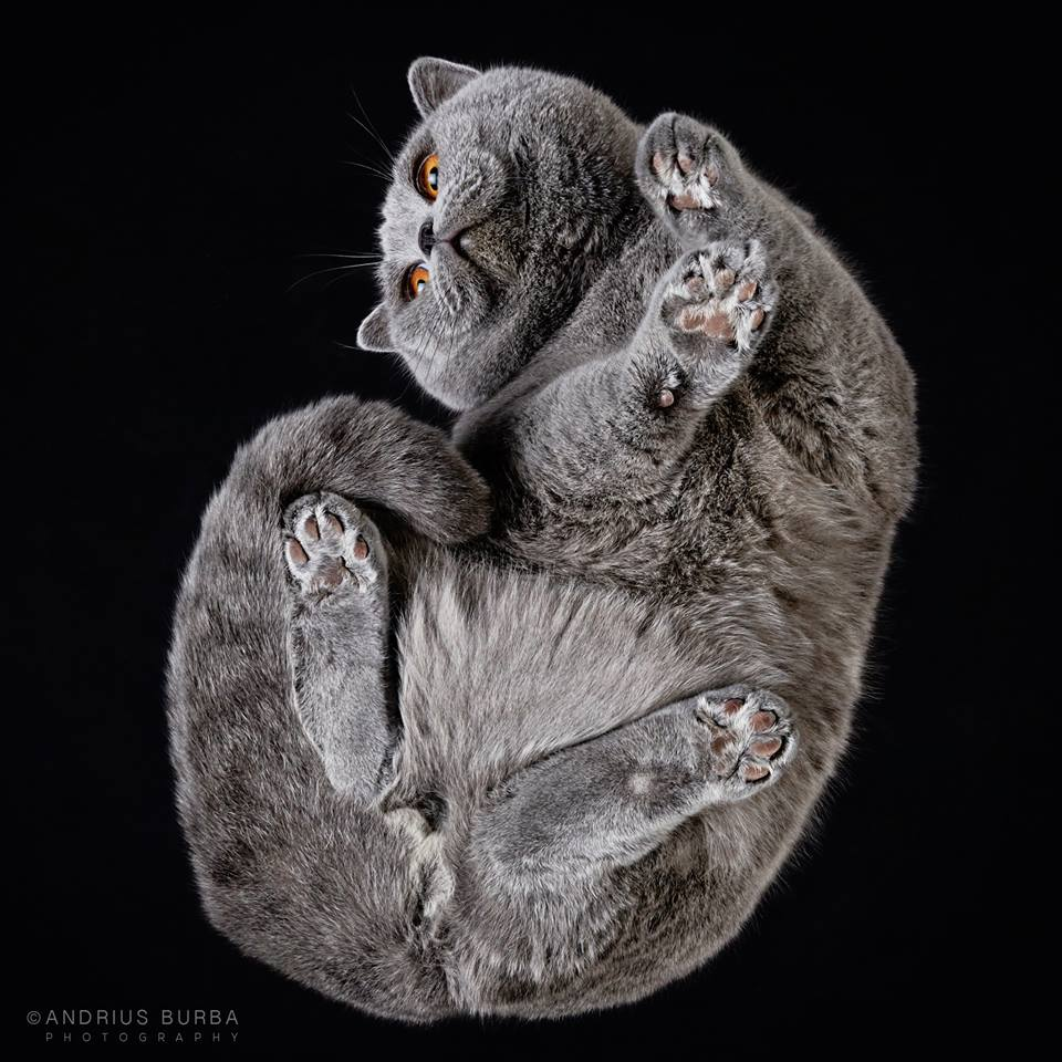 BRITISH SHORTHAIR. A Photographer Captures Cats from Underneath. Click to read the full story. | Animals Zone