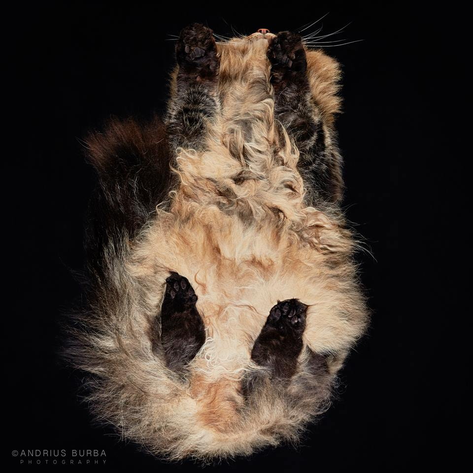 NORWEGIAN FOREST. A Photographer Captures Cats from Underneath. Click to read the full story. | Animals Zone
