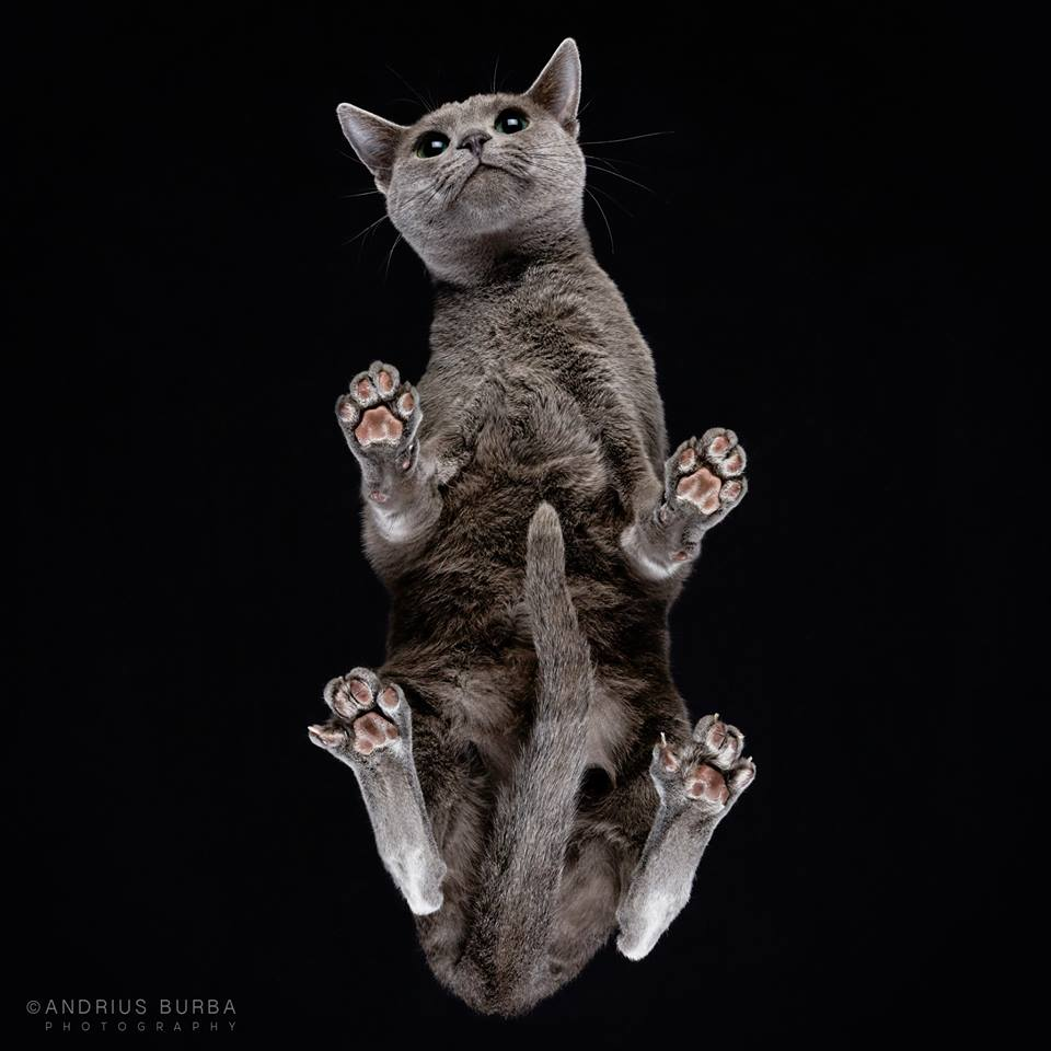 RUSSIAN BLUE. A Photographer Captures Cats from Underneath. Click to read the full story. | Animals Zone